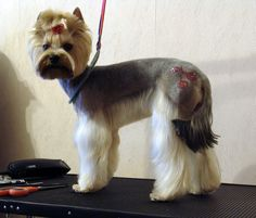 Pet grooming the good the bad the furry grooming a golden the creative and stylish yorkie haircuts have been added to the style manual of the pet hair dressers solutioingenieria Image collections