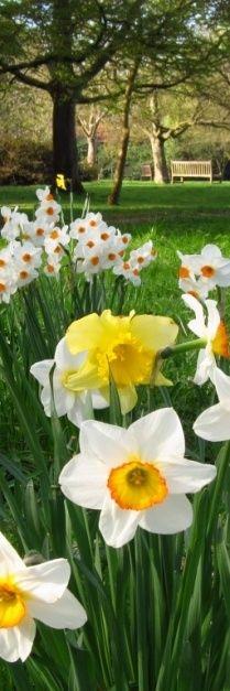 Rosamaria G Frangini | Spring Scenes |  Memories of daffodils