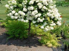 Hydrangea Paniculata Pink Diamond sur tige Hydrangea Paniculata Phantom, Images, Diamond, Gardens, Trees And Shrubs, Plant Stem, Landscape, Flowers, Plants