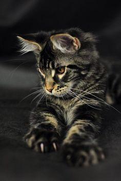 Odin - Maine Coon kitten