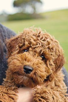 Mini Labradoodle! Snuggle. Honden
