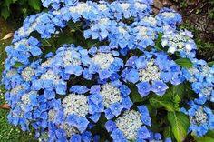 "Hydrangea macrophylla  ""Blaumeise"""
