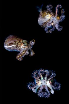 The bobtail squid has a unique relationship with a bacteria, Vibrio fischeri. This bacteria helps the squid hide from predators at night. Photo by grnhrn