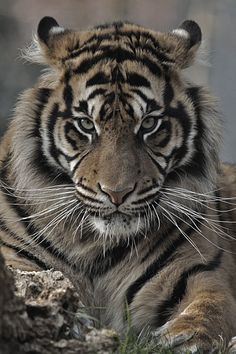 Tiger. I hope I never have to look a kid in the eye and tell them we killed all these beautiful creatures because we wanted to drive and watch TV or whatever. I don't even like kids, but I really don't want to do that.