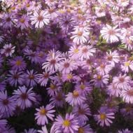 Wood's Pink Aster :  I have two of these and just love them.  They bloom in the Fall at the same time my Butterfly Bushes and Purple Lark Spur does.