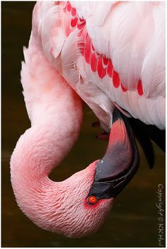Lesser Flamingo (Phoenicopterus minor)