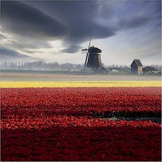 Tulips and windmills in Holland