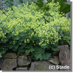 Alchemilla mollis (Großblättriger Frauenmantel), 40 - 50 hoch, blüht 6 - 7