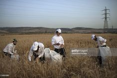 Ultra-Orthodox Jews harvest wheat with hand sickles in a field near the Mevo Horon settlement in the Israeli occupied West Bank, on May 22, 2012. The wheat will be stored for almost a year before being used to grind flour in order to make the Matzah Shemurah (unleavened bread) for the week-long Passover festival next year.