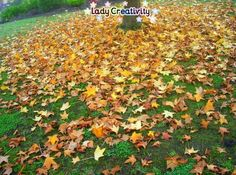 Autumn leaves and trees- The liquid amber tree was in full autumn colours.  http://ladycreativity8.blogspot.com.au/2014/07/autumn-leaves-and-trees.html