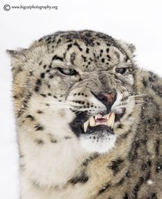 Expressive...... stunning male Snow Leopard showing his dislike