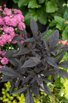 Light Purple Flowers, Fall Planting, Citrus Heights, Potato Vines, Early Spring, Hanging Baskets, Sweet Potato, Green, Plants