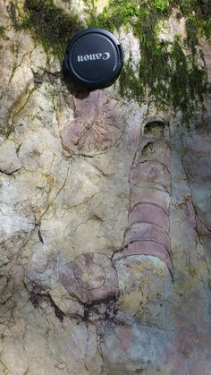Late Triassic ammonites at Lieslingkogel, Austria. (Photo: Sofie Lindström)  It's amazing they can Canon cameras back then, too!
