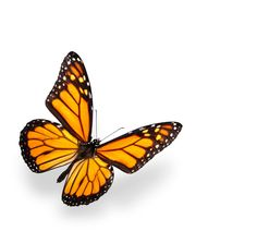 Done! Got this next butterfly recently. Well, it's similar, not exact of course. Better :)
