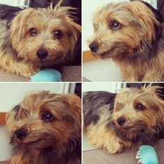 #dog #norfolkterrier #perro #terrier #dogvacay #fluffy #thatface #chien #animallovers #fluffypack #dogfeatures #ilovedogs #pawstruck #animal #puppylove #cutie #bestwoof #instagood #terriers #petbox #doggy #life #cutedog #pets_of_instagram #dogoftheday