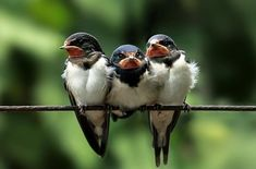 baby swallow trio