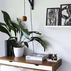 cast iron plant... safe for cats! Indoor Palms, Plants Indoor, Potted Plants, Indoor Garden, Cast Iron Plant, Baby Succulents, Chinese Money Plant, Hanging Pots, Desk Setup
