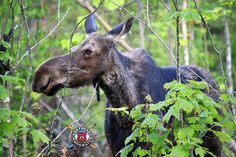It's a very cold day in Maine, so we are positively thinking about spring and Moose!  :)  #MaineMooseWatching
