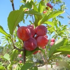 Toka Plum      Plum Tree - Bubblegum     Dozens of Plums Grown in a Snap     Spicy-sweet flavored fruit     Best pollinator     Hardy     Growing Zones 3-8     Only $44.95 Click to buy online!