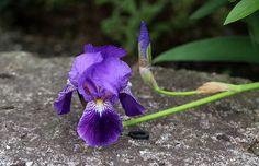 あやめ(菖蒲、綾目)Iris sanguinea