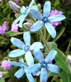 Turquoise+Blue+Star+Milkweed+Vine+Rare+Tweedia+Oxypetalum+caeruleum+-+10+Seeds