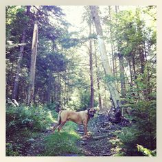 Oscar the Ridgeback in our summer woods