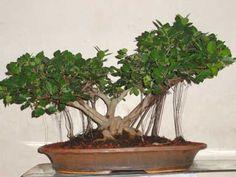 bonsai-plants-for-beginners