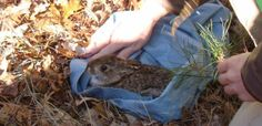 Hunters can help the Conservation Foundation document the extent of the recently rediscovered New England cottontail rabbit on Nantucket. —Photo courtesy of the Nantucket Conservation Foundation
