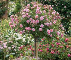 English Roses, Comment prendre soin de roses anglaises, Plantation Anglais…