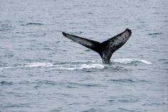 Akureyri Whale Watching, North Iceland