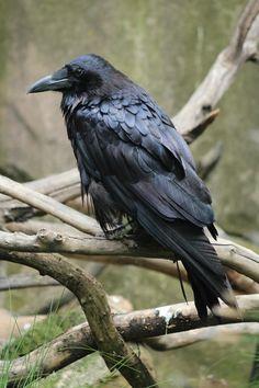 The Crow by Isolda Córdova - Photo 12907123 / 500px