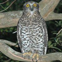 Powerful Owl Image 1