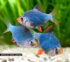 How To Choose A Tropical Fish Aquarium The first decision you must make when you buy an aquarium is whether you plan to keep freshwater fish or saltwater Tropical Fish Aquarium, Freshwater Aquarium Fish, Fish Aquariums, Fish Background, Betta Fish Types, Aquarium Backgrounds, Aquarium Design, Pet Fish, Saltwater Tank