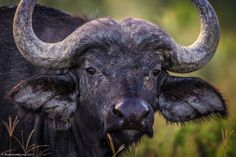 Cape Buffalo are in abundance at Lake Nakuru and they just have the cutest faces.