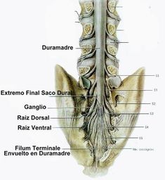 60 Tiny Little Structures Us Ideas Anatomy And Physiology Brain Anatomy Neurology The filum terminale is an extension of the pia mater that is attached to the coccygeal segments filum terminale lipomas represent the most common intraspinal lipoma. anatomy and physiology brain anatomy
