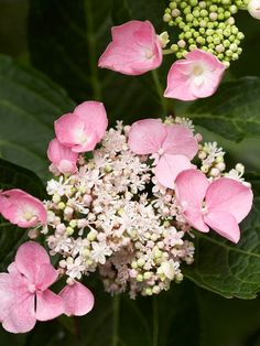 Like Endless Summer Twist-n-Shout, Let's Dance Starlight Hydrangea macrophylla is a lacecap that produces showy flowers for months. It also has rich, dark green foliage and a compact habit. This variety grows 3 feet tall and wide. Zones 5-9