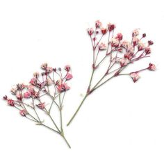 Pink Baby's Breath - Real Pressed Flowers - Pressed Baby's Breath... (115 UAH) ❤ liked on Polyvore featuring flowers, plants, filler, flora and backgrounds