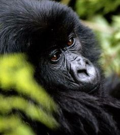 Photo : Un gorille des montagnes