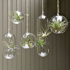 airplants hanging in glass bubbles... i want a hanging garden of these. They would be GREAT in a sun room in a little cluster...
