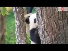 Lin Ping, Thailand's Baby Panda Plays With Mother Lin Hui at Chaingmai Zoo. - YouTube