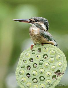 Ave pescadora pousado em sementes de lotus. Kingfisher                                                                                                                                                                                 More
