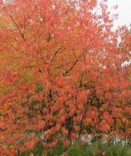 Pilvikirsikka - Prunus pensylvanica