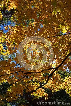 Photo about A beautiful autumn image of bright yellow leaves of a maple tree lit up and glowing like stained-glass. Image of brilliant, yellow, image - 81311993 Yellow Leaves, Bright Yellow, Maple Tree, Tree Lighting, Light Up, Stained Glass, Glow, Autumn, Stock Photos