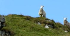 Tour Scotland photograph of sheep on a hill on ancestry visit to the Western Scottish Highlands of Scotland . In the late 18th century well ...