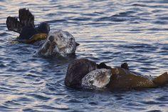 Otters at Sunrise - April 9, 2011