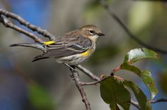 myrtle warbler    Seen in Franklin hovering at a suet feeder for a winter snack.  These yellow-rumped warblers sometimes overwinter here.