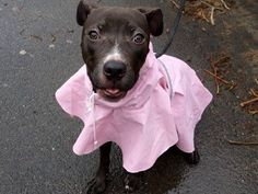 SAFE 3/25/15 --- Manhattan Center   JAMMIN - A1030445  *** EXPERIENCED HOME ***  FEMALE, BROWN / WHITE, AMERICAN STAFF MIX, 8 mos STRAY - STRAY WAIT, NO HOLD Reason STRAY  Intake condition EXAM REQ Intake Date 03/15/2015 https://www.facebook.com/photo.php?fbid=979189825427230