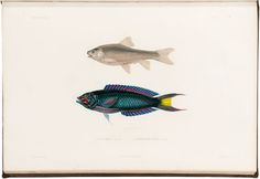 A page taken from, Voyage en Abyssinie execute pendant les annees by Theophile Lefebvre. A tropical fish illustration.
