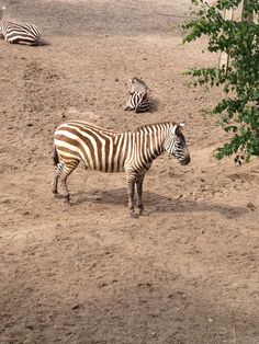 Zebraaa - Burgers Zoo