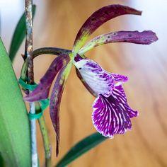 BC Binosa x Encyclia Atropurpurea